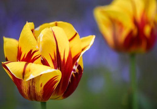 Kleurrijke Tulpen van