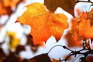 The Orange Leaf II