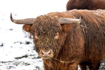 De stier draagt zijn grote hoorn met trots van Harald Schottner