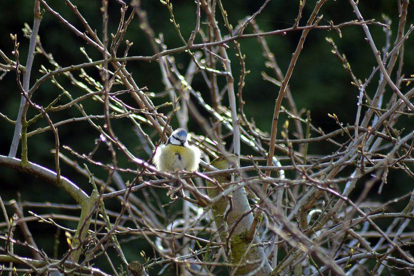 Pimpelmees geniet in de voorjaarszon van FotoGraaG Hanneke