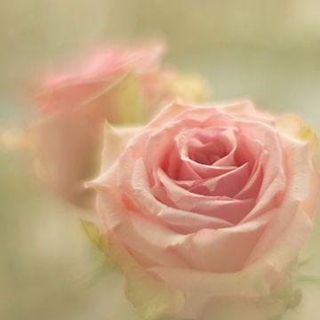 Rosen von Janny Kleijn