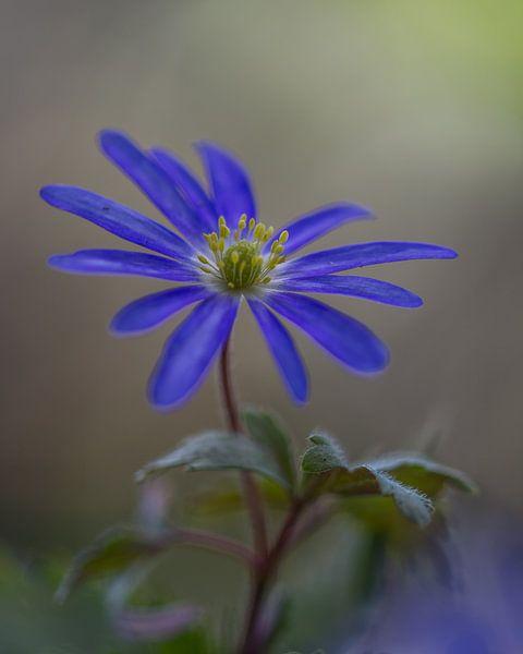 Anemone blanda, blaue Anemone von John van de Gazelle