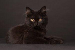Zwarte kitten met langhaar op een zwarte achtergrond van