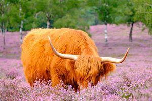 Schottische Highlander in einem blühenden Heidefeld während eines Sommertages