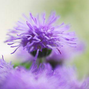 Warrig paars, wat een kapsel
