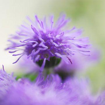 Warrig paars, wat een kapsel van Marlies Prieckaerts