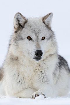 Gray Wolf  ( Canis lupus) in winter, close-up, lying, resting in snow, amber coloured eyes, watching van wunderbare Erde