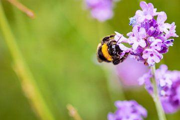 Bumblebee sur Geert Huberts
