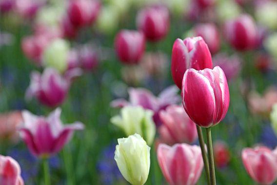 Tulpen in de Keukenhof (6) van Antwan Janssen
