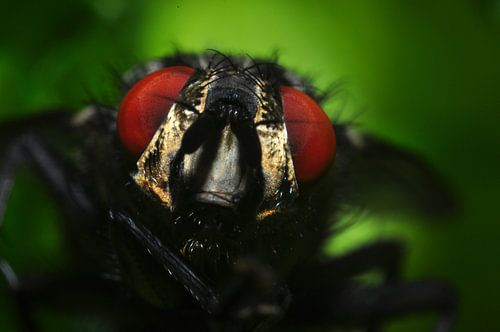 Vlieg close-up