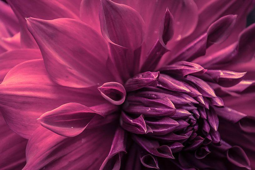 Prachtige paarse dahlia van Koop je Canvas