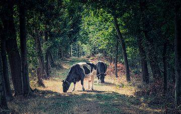 Landschaft mit grasenden Kühen im Sonnenlicht von jacky weckx