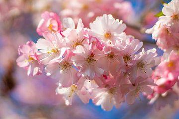 Rosa Blüte von Rutmer Visser