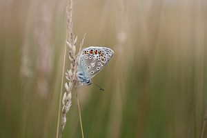 Icarusblauwtje (Polyommatus icarus) van Mighuel Geutskens