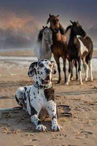 Drei Mini-Hengste und eine Deutsche Dogge am Strand. von ingrid schot