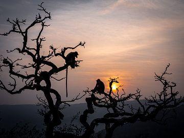 Affensilhouetten in den Bäumen von Pushkar Indien von Rik Pijnenburg