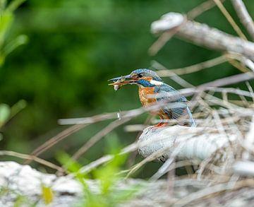 Ijsvogel met vers gevangen vis. van Robbie Nijman
