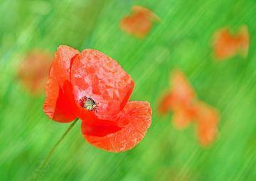 Poppy Art von Michelle Coppiens