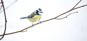Bluetit bird