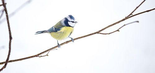Bluetit bird van