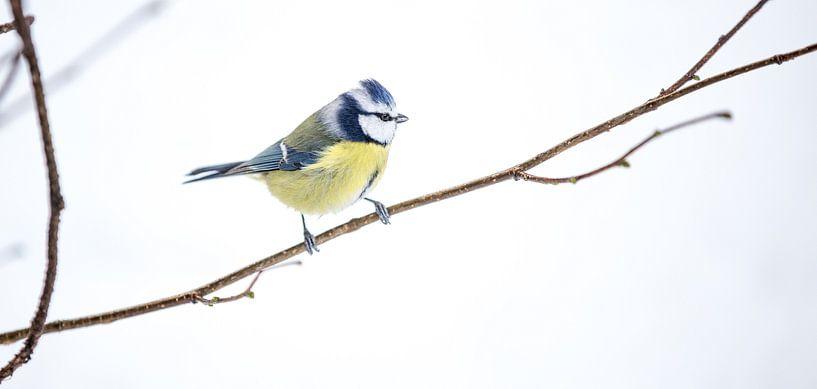 Bluetit bird van Mark Zanderink