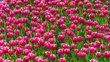 Rosa Tulpen im Blumenzwiebelfeld Flevoland (Niederlande) von Jessica Lokker