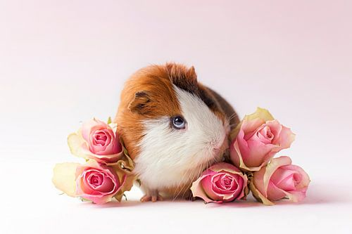 Cavia Archie tussen rozen