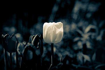 Dark Blossom Gruga - Frühlings Tulpe Tulip in sanften Bokeh fotografiert - Trauer und Hoffnung von Jakob Baranowski - Off World Jack