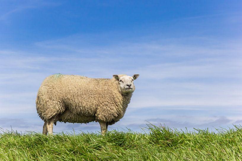Ein weißes Schaf steht oben auf einem Deich in Friesland von Marc Venema