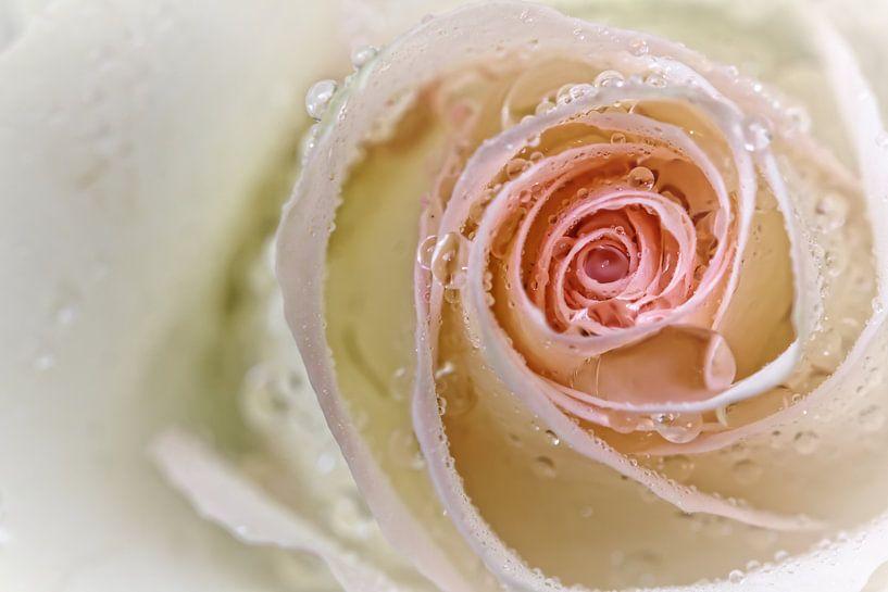 Tenderness... (bloem, roos, druppel, liefde, lente) van Bob Daalder