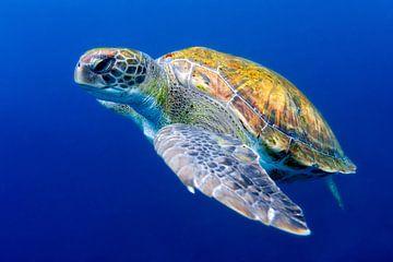 Groene zeeschildpad bij Tenerife