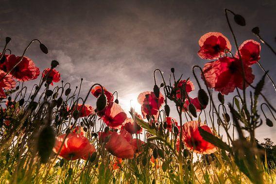 Poppy early morning
