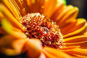 Oranje Gerbera met waterdruppel van Ricardo Bouman | Fotografie