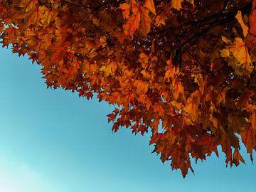 Herfst, esdoorn met rode bladeren en blauwe lucht sur Roger VDB