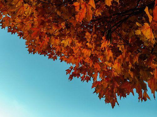 Herfst, esdoorn met rode bladeren en blauwe lucht van