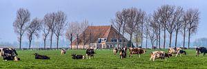 Boerehoeve op t Friese platteland met het vee op de voorgrond.