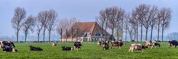 Boerehoeve op t Friese platteland met het vee op de voorgrond. von Harrie Muis