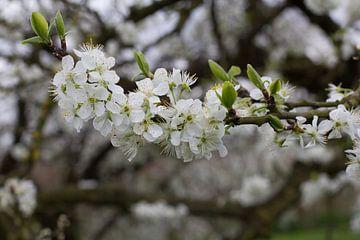 Bloesem (Blossom)  van