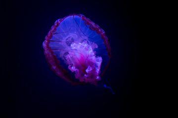 Lichtgevende blauwe kwal in de donkere diepzee van