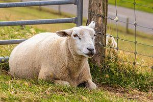 Schaf von Angela Dölling
