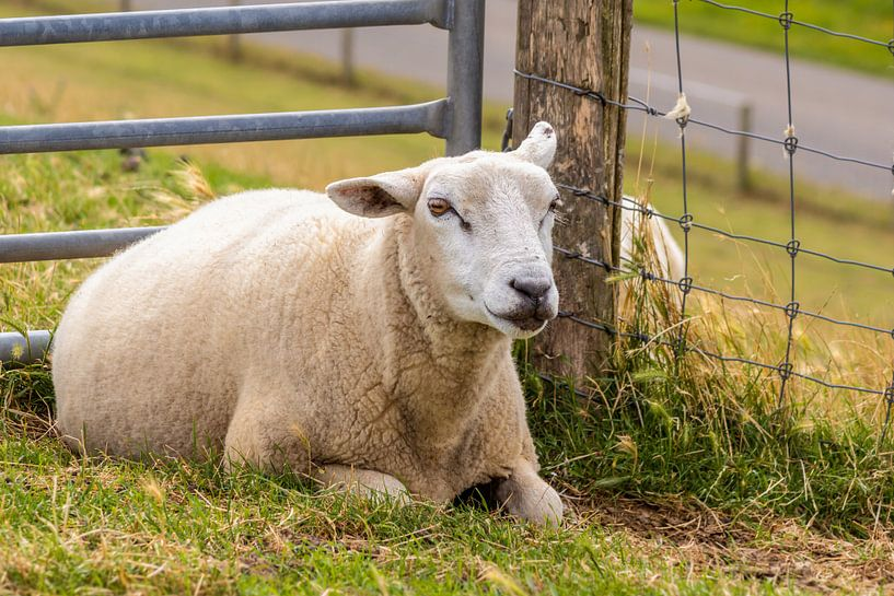 Moutons sur Angela Dölling