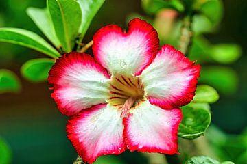 Rose du désert sur Eduard Lamping