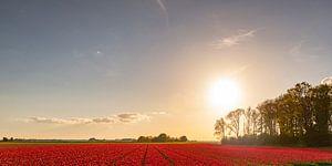 Veld met bloeiende rode tulpen tijdens zonsondergang