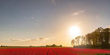 Felder von blühenden roten Tulpen während des Sonnenuntergangs in Holland von Sjoerd van der Wal