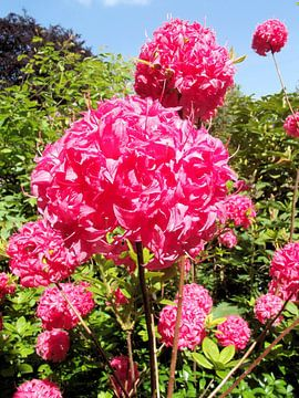 Pink flower von Il se