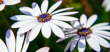 Süsses Gänseblümchen von Ellinor Creation