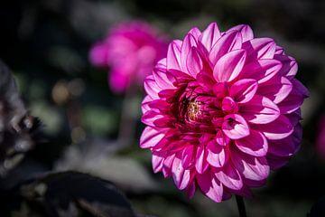 Pink Dahlia von Yvonne van der Meij