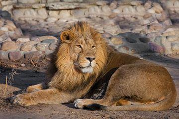 Ein mächtiger männlicher Löwe mit einer schicken, von der Sonne geweihten Mähne. von Michael Semenov