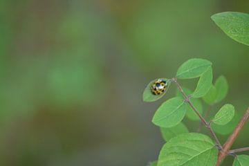 Lieveheersbeestje in zachte kleuren van Klaas Dozeman