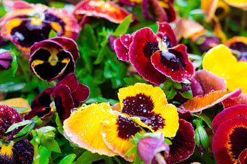 Bloemen met dauwdruppels in Friesland, Nederland van John Ozguc